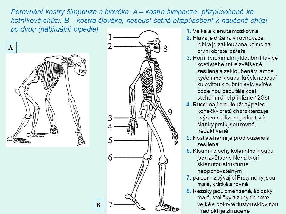 Porovnání kostry šimpanze a člověka: A – kostra šimpanze, přizpůsobená ke kotníkové chůzi, B – kostra člověka, nesoucí četná přizpůsobení k naučené ch