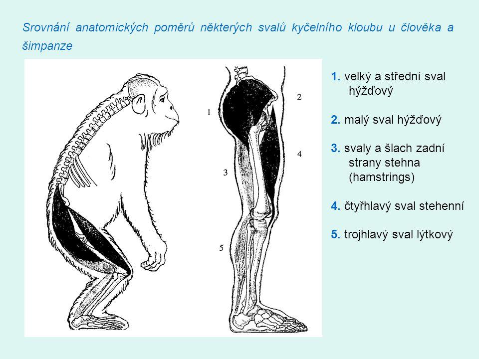 Srovnání anatomických poměrů některých svalů kyčelního kloubu u člověka a šimpanze 1. velký a střední sval hýžďový 2. malý sval hýžďový 3. svaly a šla