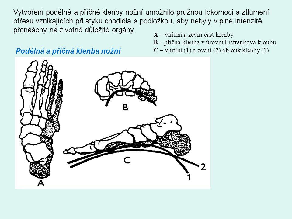 Podélná a příčná klenba nožní Vytvoření podélné a příčné klenby nožní umožnilo pružnou lokomoci a ztlumení otřesů vznikajících při styku chodidla s podložkou, aby nebyly v plné intenzitě přenášeny na životně důležité orgány.