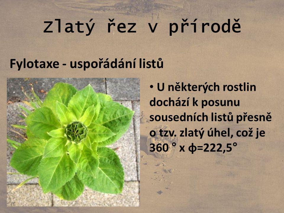 Zlatý řez v přírodě Fylotaxe - uspořádání listů U některých rostlin dochází k posunu sousedních listů přesně o tzv. zlatý úhel, což je 360 ° x φ=222,5