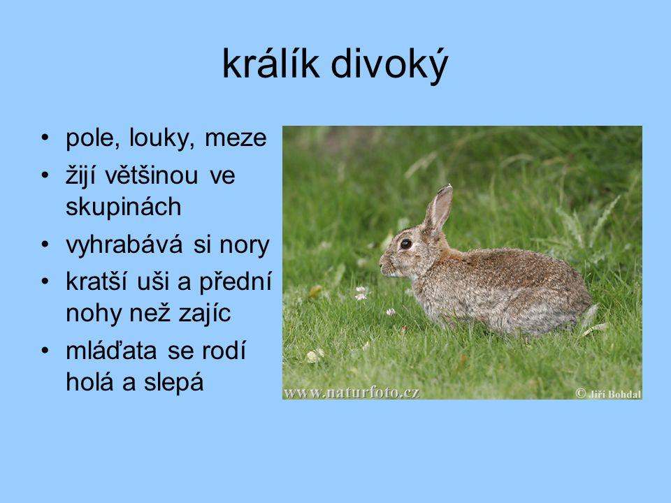 králík divoký pole, louky, meze žijí většinou ve skupinách vyhrabává si nory kratší uši a přední nohy než zajíc mláďata se rodí holá a slepá