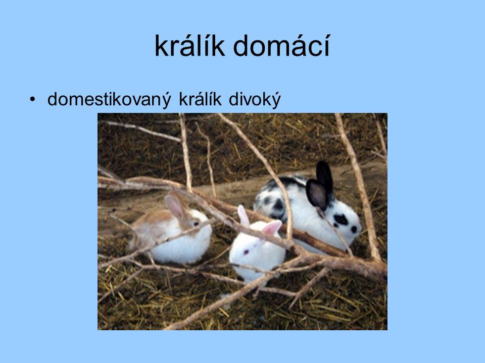 králík domácí domestikovaný králík divoký