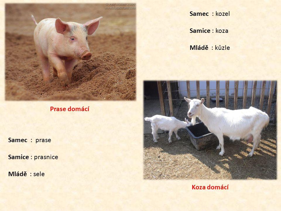 Prase domácí Samec : prase Samice : prasnice Mládě : sele Koza domácí Samec : kozel Samice : koza Mládě : kůzle