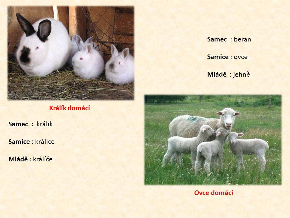 Králík domácí Samec : králík Samice : králice Mládě : králíče Ovce domácí Samec : beran Samice : ovce Mládě : jehně