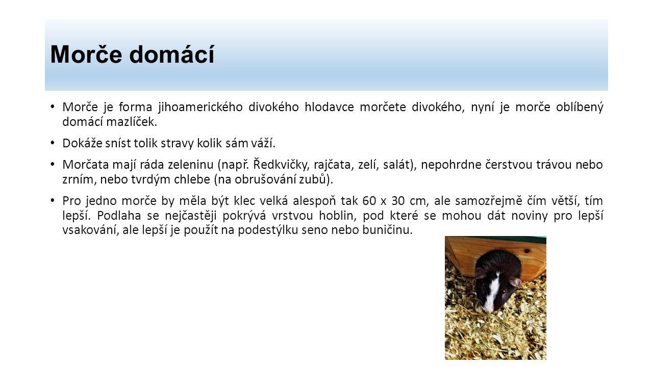 Morče domácí Morče je forma jihoamerického divokého hlodavce morčete divokého, nyní je morče oblíbený domácí mazlíček. Dokáže sníst tolik stravy kolik