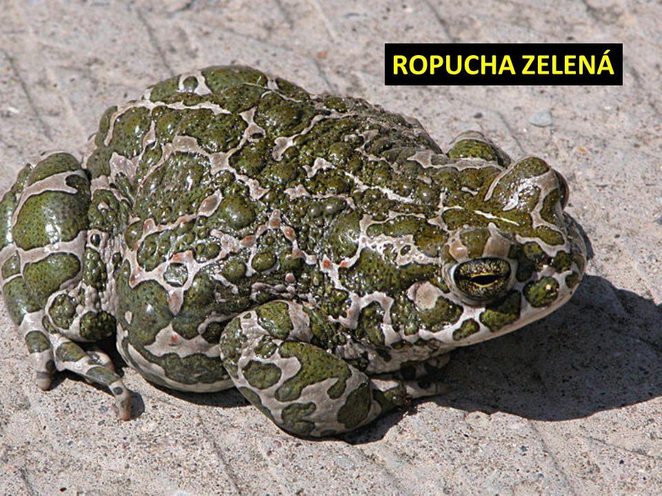 ROPUCHA ZELENÁ