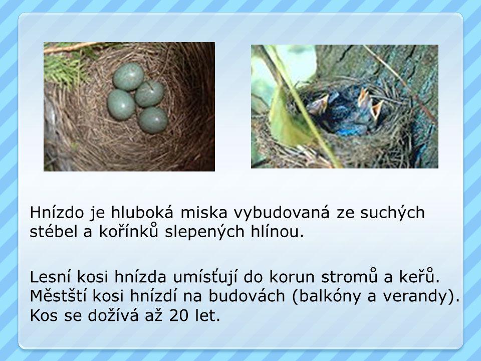 Hnízdo je hluboká miska vybudovaná ze suchých stébel a kořínků slepených hlínou. Lesní kosi hnízda umísťují do korun stromů a keřů. Městští kosi hnízd