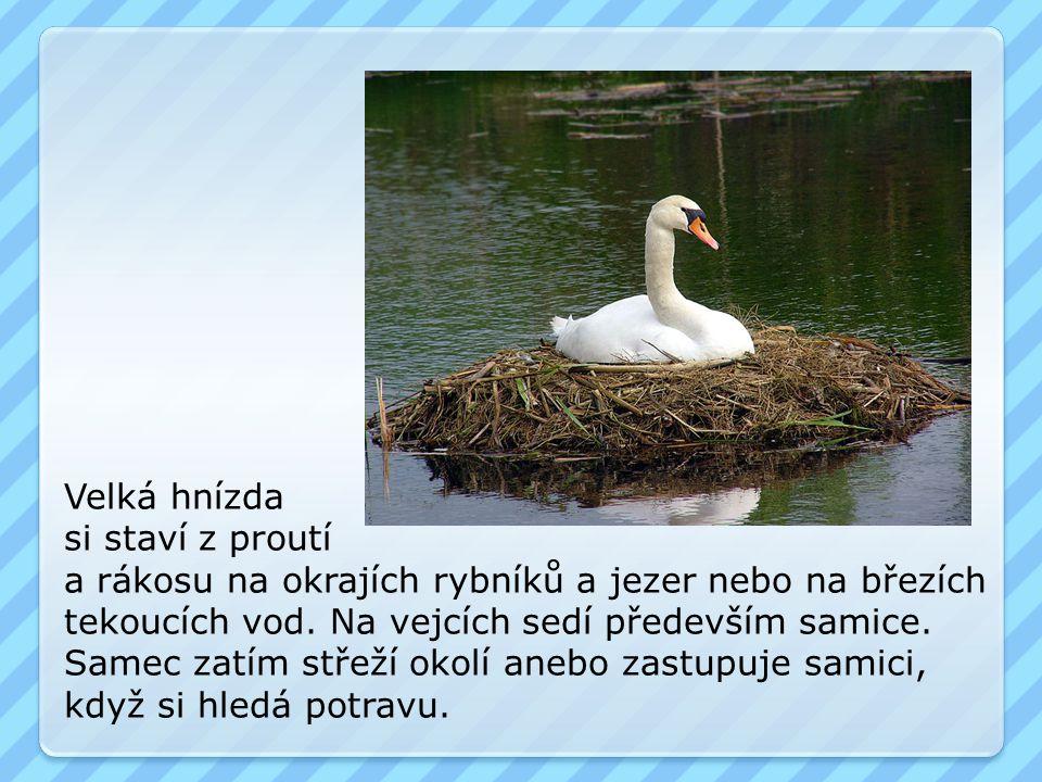 Velká hnízda si staví z proutí a rákosu na okrajích rybníků a jezer nebo na březích tekoucích vod. Na vejcích sedí především samice. Samec zatím střež