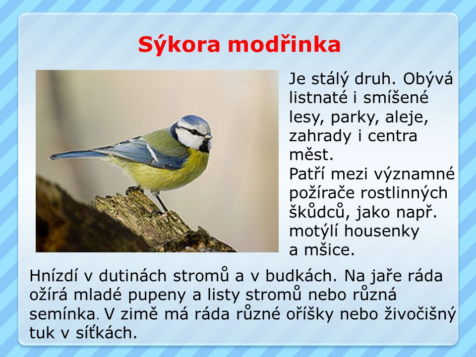 Sýkora modřinka Je stálý druh. Obývá listnaté i smíšené lesy, parky, aleje, zahrady i centra měst. Patří mezi významné požírače rostlinných škůdců, ja