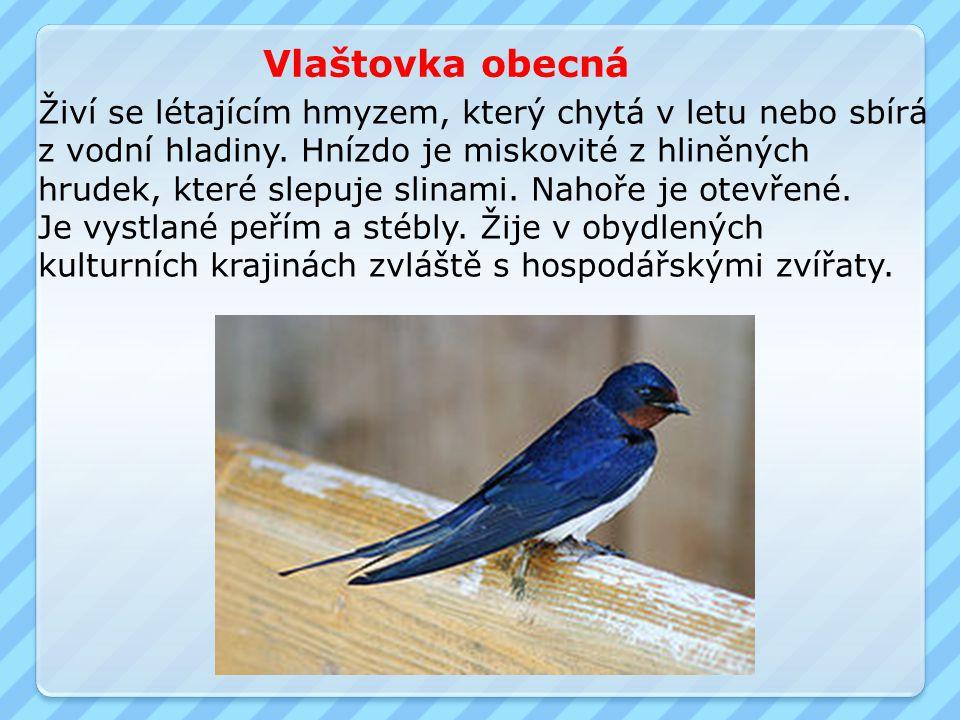 Vlaštovka obecná Živí se létajícím hmyzem, který chytá v letu nebo sbírá z vodní hladiny.