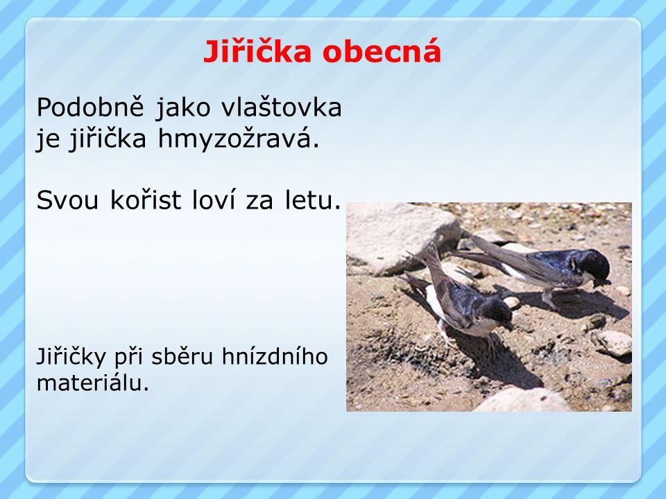 Jiřička obecná Jiřičky při sběru hnízdního materiálu. Podobně jako vlaštovka je jiřička hmyzožravá. Svou kořist loví za letu.