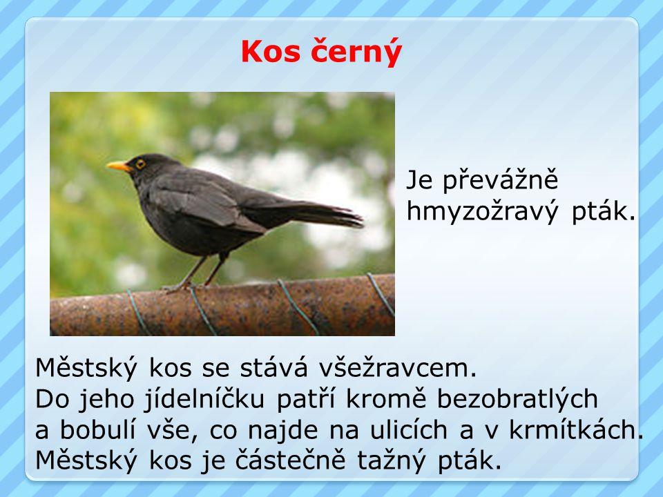 Kos černý Je převážně hmyzožravý pták. Městský kos se stává všežravcem. Do jeho jídelníčku patří kromě bezobratlých a bobulí vše, co najde na ulicích