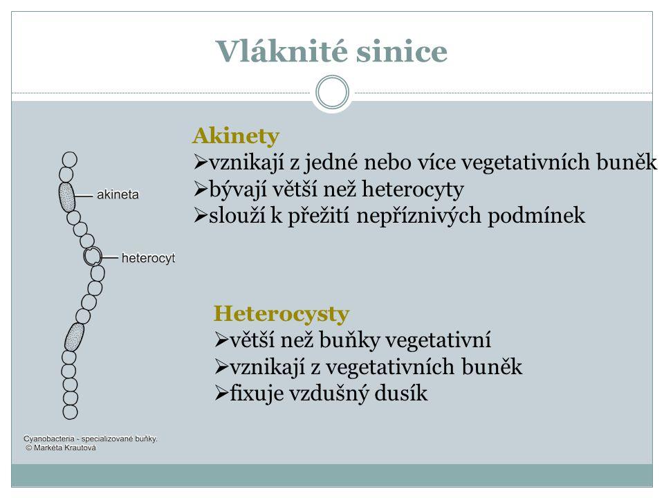 Vláknité sinice Heterocysty  větší než buňky vegetativní  vznikají z vegetativních buněk  fixuje vzdušný dusík Akinety  vznikají z jedné nebo více vegetativních buněk  bývají větší než heterocyty  slouží k přežití nepříznivých podmínek
