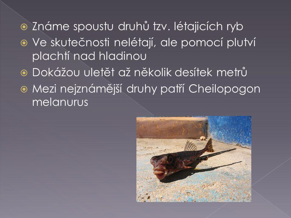  Známe spoustu druhů tzv. létajicích ryb  Ve skutečnosti nelétají, ale pomocí plutví plachtí nad hladinou  Dokážou uletět až několik desítek metrů