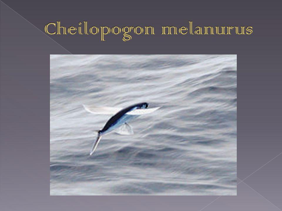  Je to mořská ryby z čeledi letounovitých  Je označována jako létající ryba, protože dokáže plachtit nad hladinou  Tuto schopnost využívá při útěku před predátory