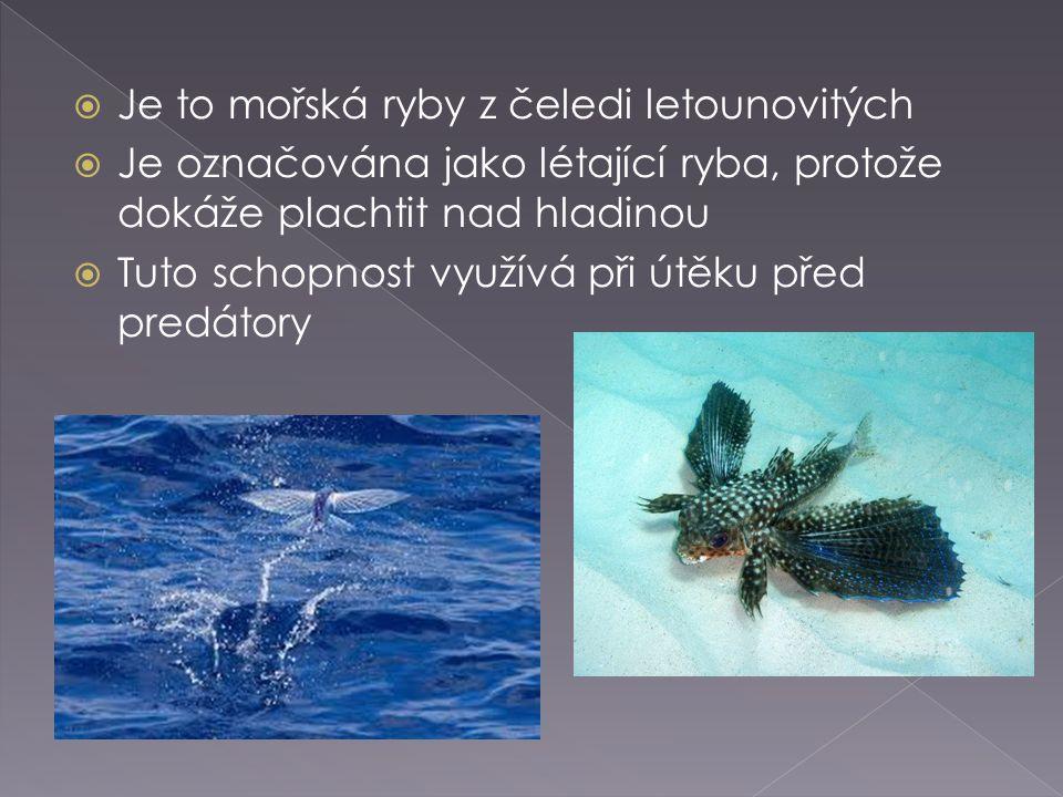  Je to mořská ryby z čeledi letounovitých  Je označována jako létající ryba, protože dokáže plachtit nad hladinou  Tuto schopnost využívá při útěku
