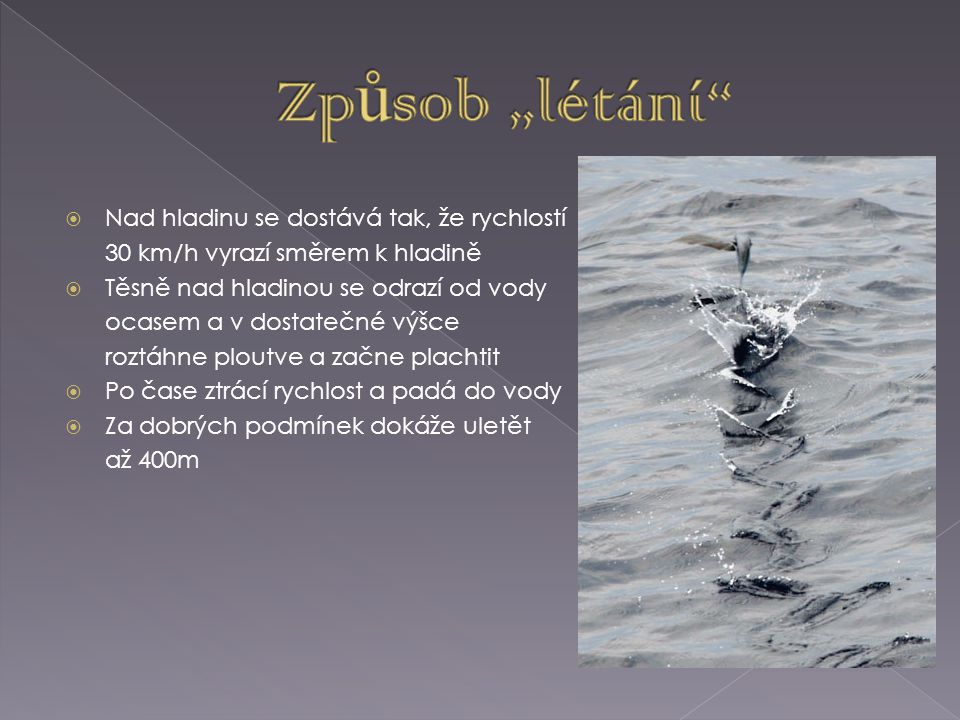  Nad hladinu se dostává tak, že rychlostí 30 km/h vyrazí směrem k hladině  Těsně nad hladinou se odrazí od vody ocasem a v dostatečné výšce roztáhne