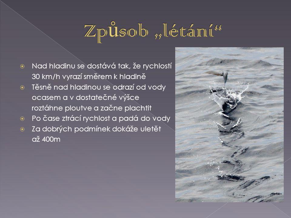  Ob.1 http://www.rozhlas.cz/priroda/zvirata/_zprava/letajici-ryby-vseho-druhu--618380  Ob.
