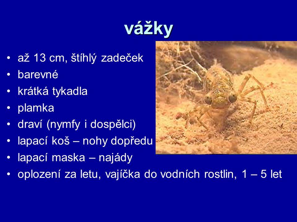 vážky až 13 cm, štíhlý zadeček barevné krátká tykadla plamka draví (nymfy i dospělci) lapací koš – nohy dopředu lapací maska – najády oplození za letu, vajíčka do vodních rostlin, 1 – 5 let