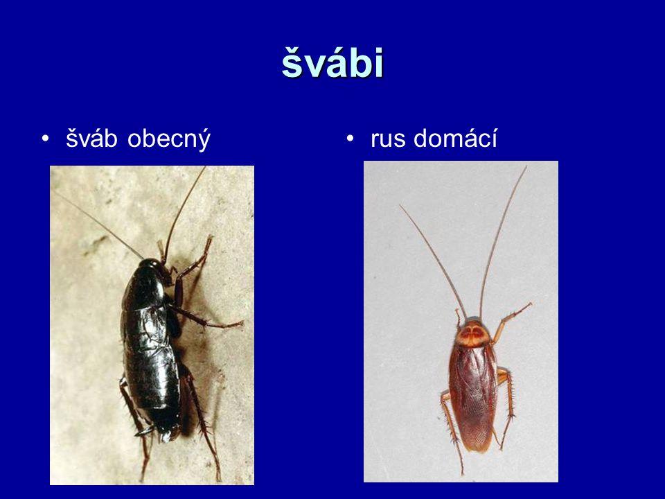 švábi šváb obecnýrus domácí