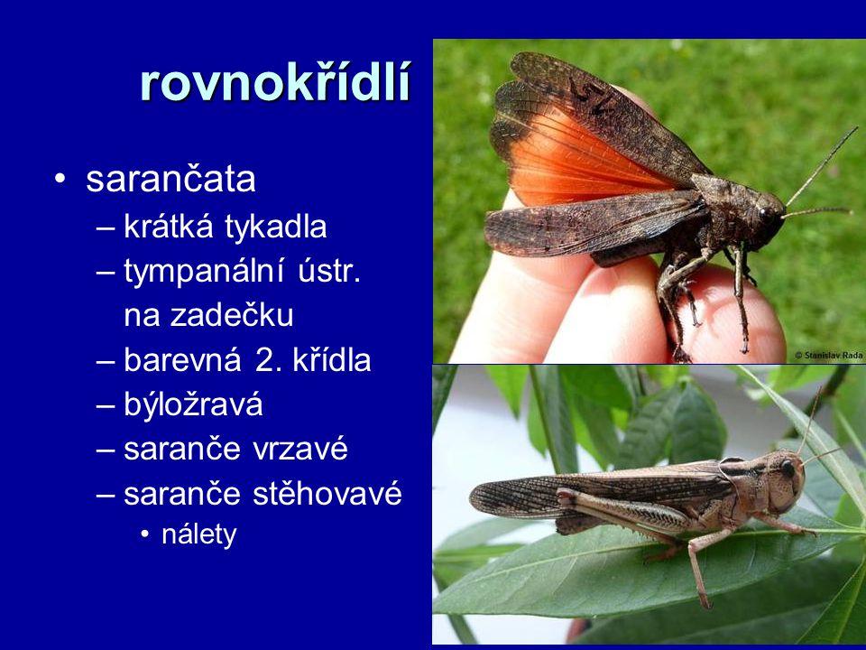 rovnokřídlí sarančata –krátká tykadla –tympanální ústr. na zadečku –barevná 2. křídla –býložravá –saranče vrzavé –saranče stěhovavé nálety