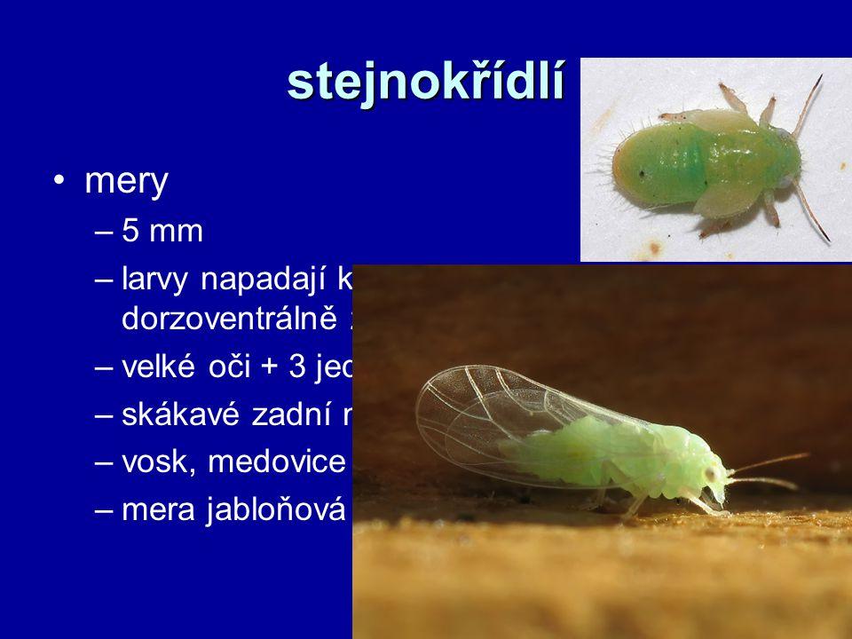 stejnokřídlí mery –5 mm –larvy napadají květy a pupeny rostlin, dorzoventrálně zploštělé –velké oči + 3 jednoduchá očka –skákavé zadní nohy, 2 páry křídel –vosk, medovice –mera jabloňová