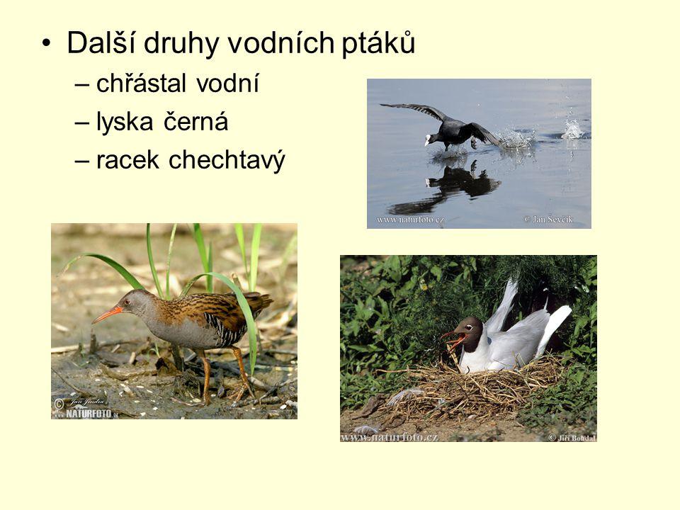 Další druhy vodních ptáků –chřástal vodní –lyska černá –racek chechtavý
