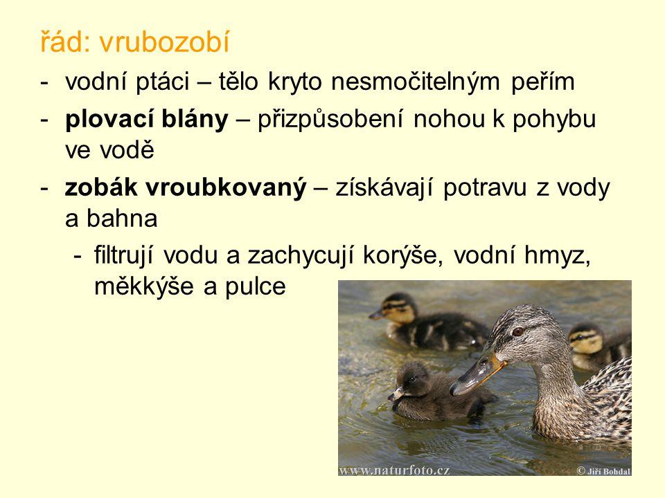 řád: vrubozobí -vodní ptáci – tělo kryto nesmočitelným peřím -plovací blány – přizpůsobení nohou k pohybu ve vodě -zobák vroubkovaný – získávají potravu z vody a bahna -filtrují vodu a zachycují korýše, vodní hmyz, měkkýše a pulce