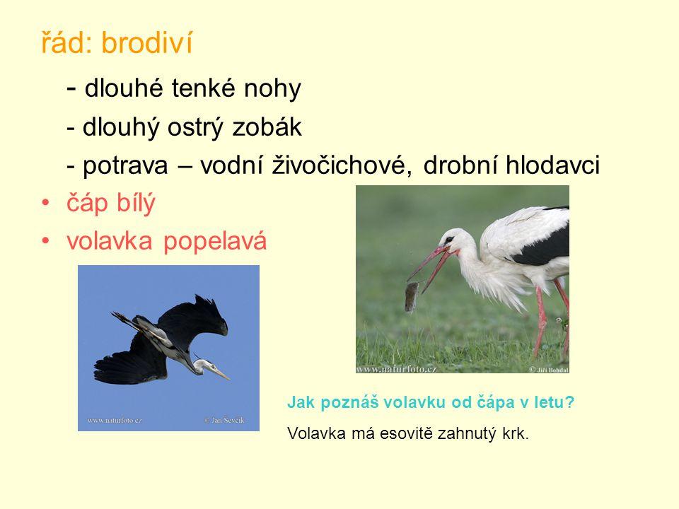 řád: brodiví - dlouhé tenké nohy - dlouhý ostrý zobák - potrava – vodní živočichové, drobní hlodavci čáp bílý volavka popelavá Jak poznáš volavku od čápa v letu.