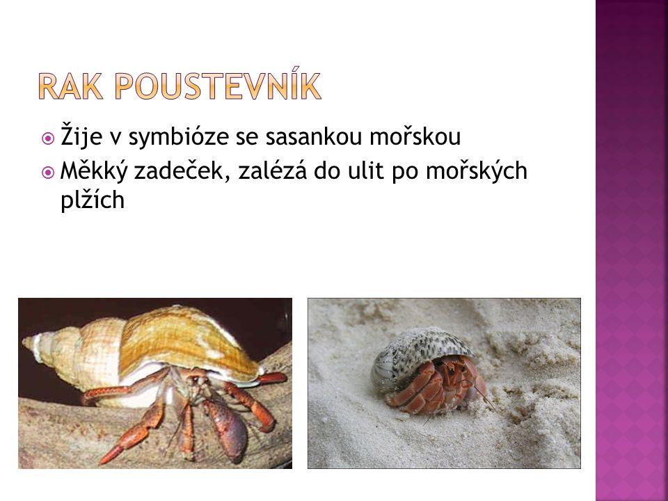  Žije v symbióze se sasankou mořskou  Měkký zadeček, zalézá do ulit po mořských plžích