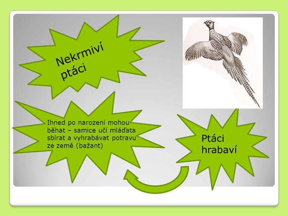 Nekrmiví ptáci Ihned po narození mohou běhat – samice učí mláďata sbírat a vyhrabávat potravu ze země (bažant) Ptáci hrabaví