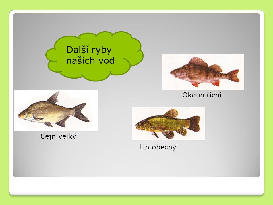 Další ryby našich vod Cejn velký Lín obecný Okoun říční