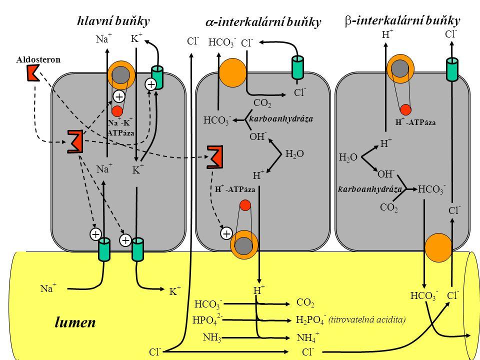 Na + K+K+ Na + -K + ATPáza K+K+ Na + Cl - Na + K+K+ Aldosteron H + -ATPáza H+H+ karboanhydráza CO 2 H2OH2O H+H+ OH - HCO 3 - Cl - HCO 3 - NH 3 NH 4 + HCO 3 - CO 2 HPO 4 2- H 2 PO 4 - (titrovatelná acidita) H + -ATPáza H2OH2O H+H+ OH - CO 2 HCO 3 - karboanhydráza Cl - H+H+ HCO 3 - Cl -  -interkalární buňky  -interkalární buňky hlavní buňky lumen + + + + Cl - +
