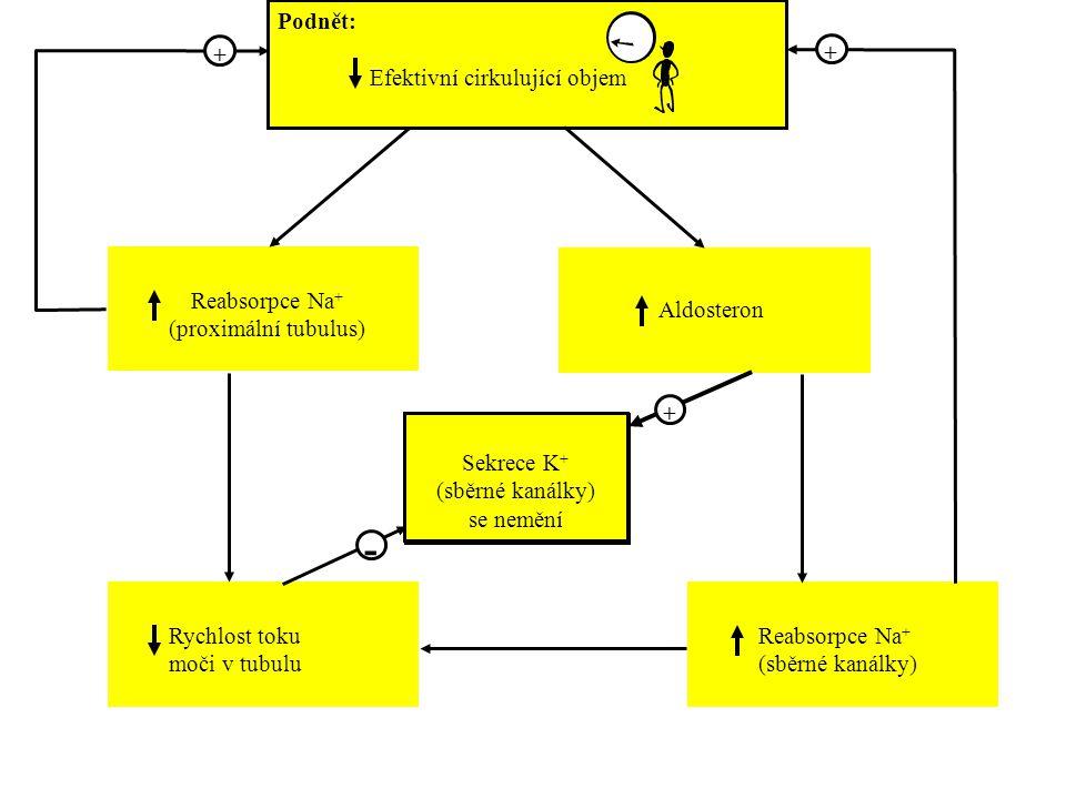 Sekrece K + Podnět: Efektivní cirkulující objem Reabsorpce Na + (proximální tubulus) Rychlost toku moči v tubulu Reabsorpce Na + (sběrné kanálky) Aldosteron + + - + Sekrece K + (sběrné kanálky) se nemění