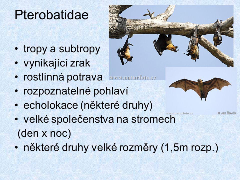 Pterobatidae tropy a subtropy vynikající zrak rostlinná potrava rozpoznatelné pohlaví echolokace (některé druhy) velké společenstva na stromech (den x
