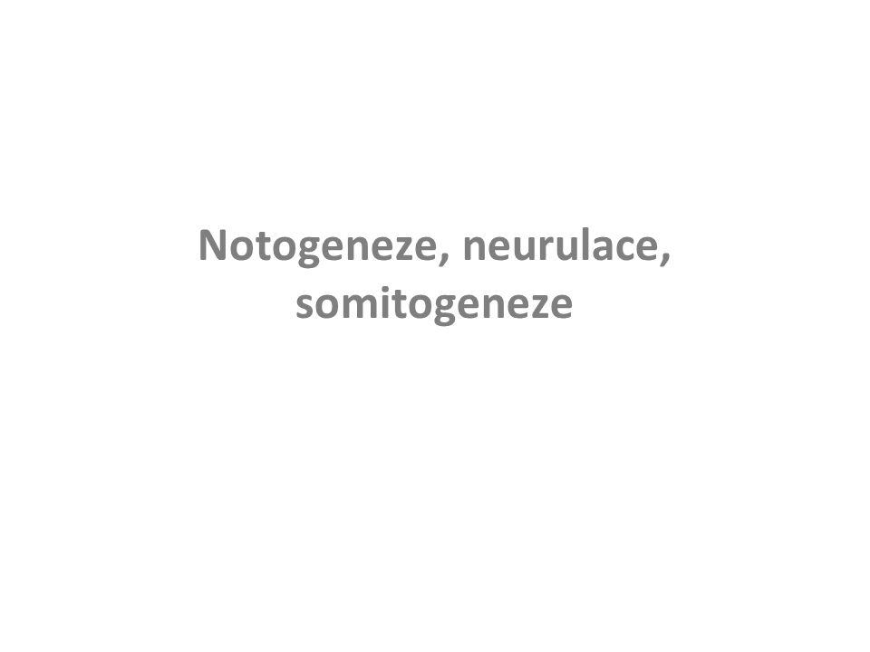 Indukce neurální ploténky a vývoj neurální trubice (interakcí notochordu s přilehlým ektodermem) neurální valy neurální brázdička neurální trubice