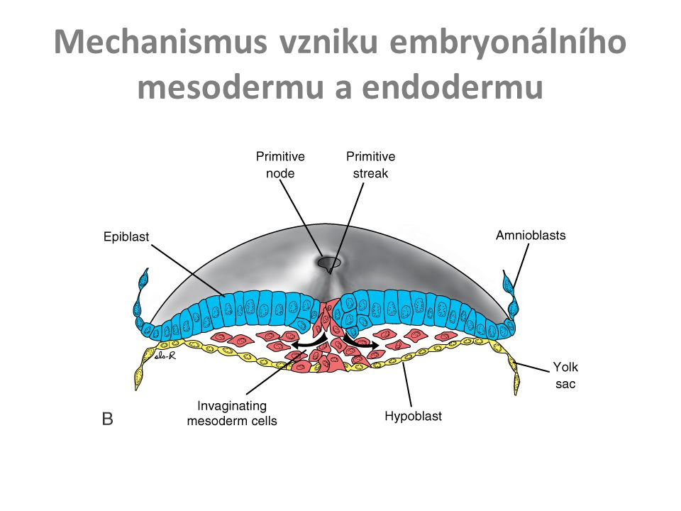 Mechanismus vzniku embryonálního mesodermu a endodermu