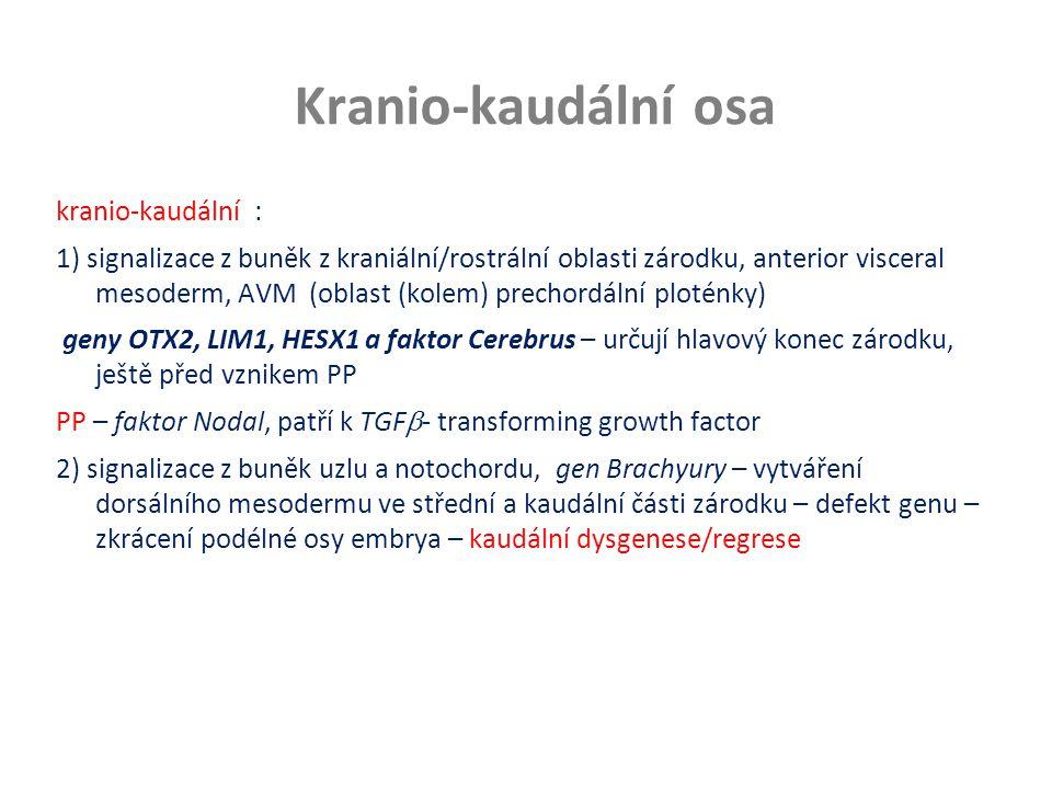 Kranio-kaudální osa kranio-kaudální : 1) signalizace z buněk z kraniální/rostrální oblasti zárodku, anterior visceral mesoderm, AVM (oblast (kolem) pr