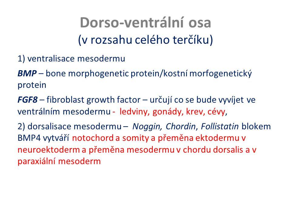 Dorso-ventrální osa (v rozsahu celého terčíku) 1) ventralisace mesodermu BMP – bone morphogenetic protein/kostní morfogenetický protein FGF8 – fibrobl