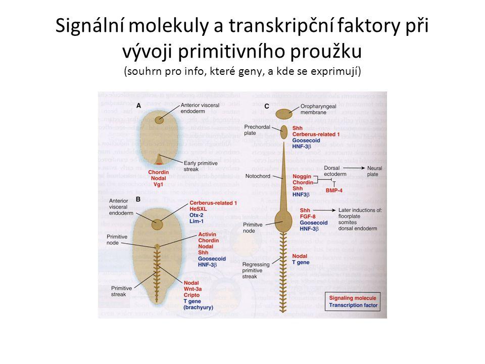 Signální molekuly a transkripční faktory při vývoji primitivního proužku (souhrn pro info, které geny, a kde se exprimují)
