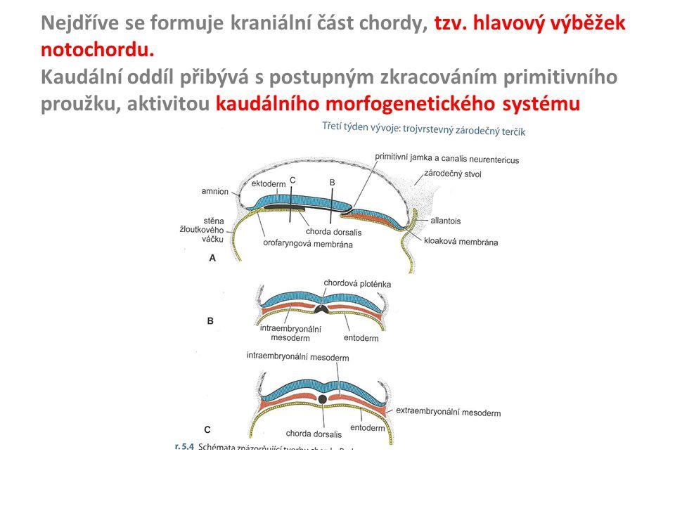 Nejdříve se formuje kraniální část chordy, tzv. hlavový výběžek notochordu. Kaudální oddíl přibývá s postupným zkracováním primitivního proužku, aktiv