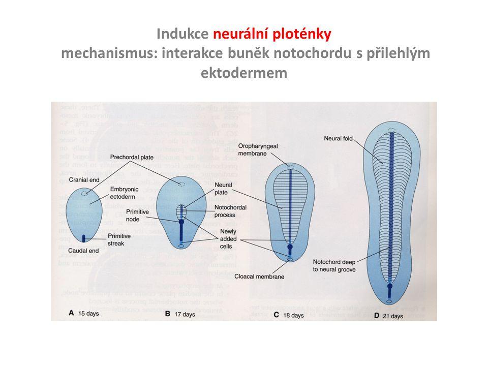 Indukce neurální ploténky mechanismus: interakce buněk notochordu s přilehlým ektodermem