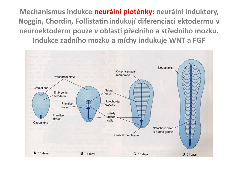 Mechanismus indukce neurální ploténky: neurální induktory, Noggin, Chordin, Follistatin indukují diferenciaci ektodermu v neuroektoderm pouze v oblast
