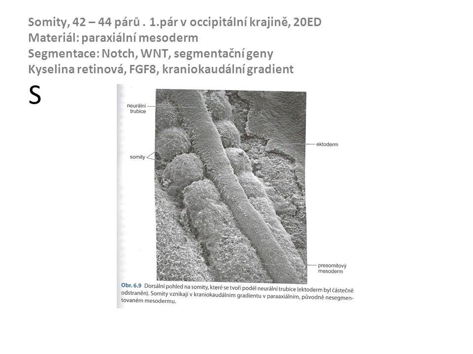 Somity, 42 – 44 párů. 1.pár v occipitální krajině, 20ED Materiál: paraxiální mesoderm Segmentace: Notch, WNT, segmentační geny Kyselina retinová, FGF8