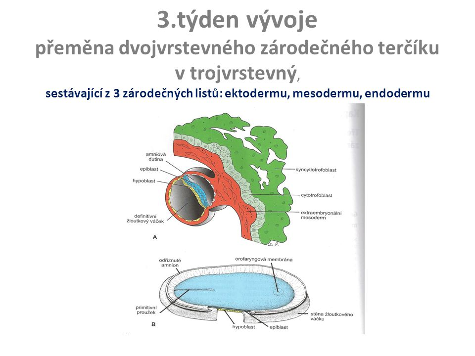 3.týden vývoje přeměna dvojvrstevného zárodečného terčíku v trojvrstevný, sestávající z 3 zárodečných listů: ektodermu, mesodermu, endodermu (gastrula