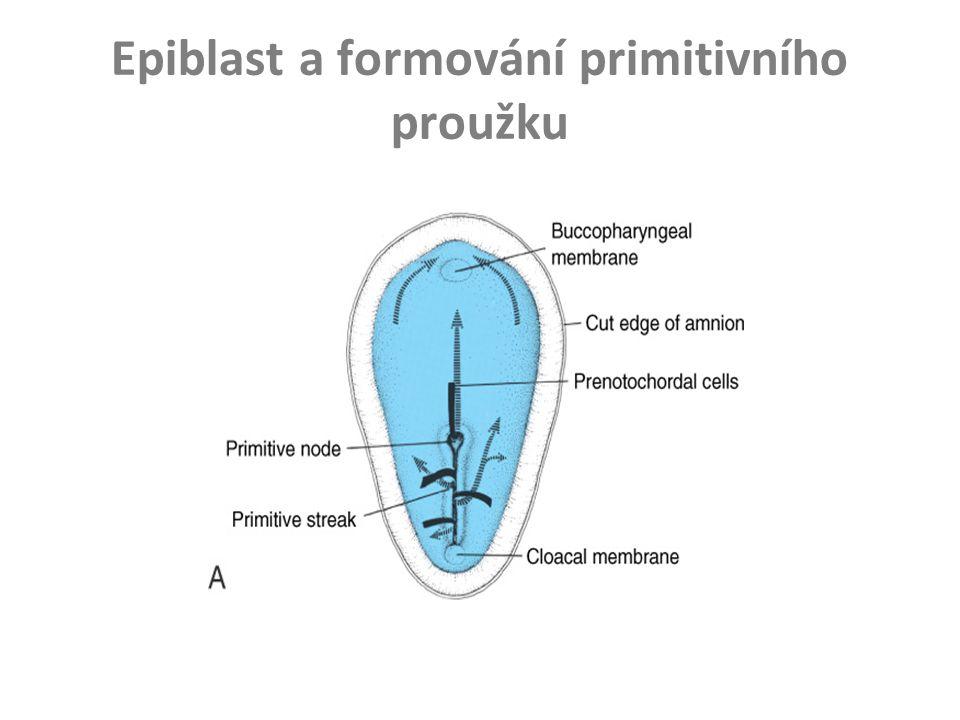 Epiblast a formování primitivního proužku
