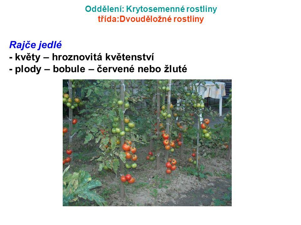 Oddělení: Krytosemenné rostliny třída:Dvouděložné rostliny Rajče jedlé - květy – hroznovitá květenství - plody – bobule – červené nebo žluté
