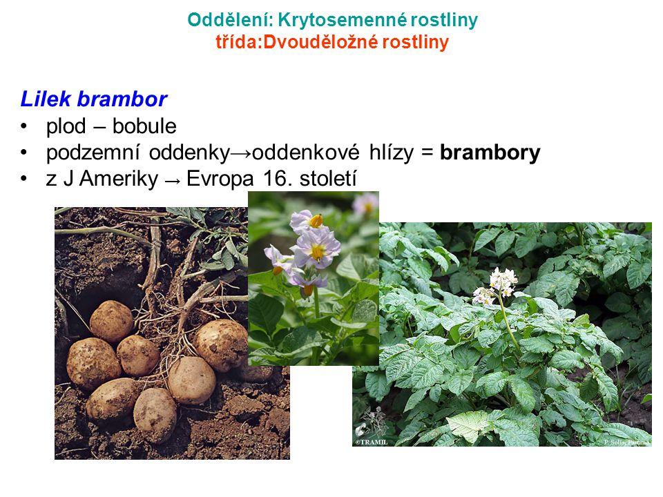 Oddělení: Krytosemenné rostliny třída:Dvouděložné rostliny Lilek brambor plod – bobule podzemní oddenky→oddenkové hlízy = brambory z J Ameriky → Evrop