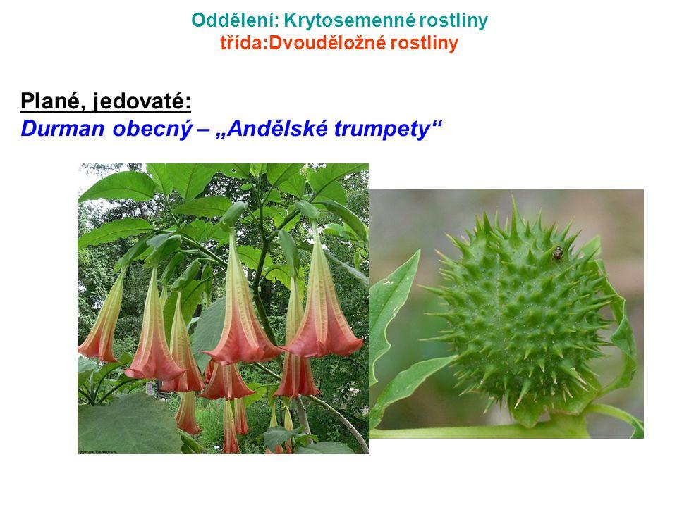"""Oddělení: Krytosemenné rostliny třída:Dvouděložné rostliny Plané, jedovaté: Durman obecný – """"Andělské trumpety"""""""