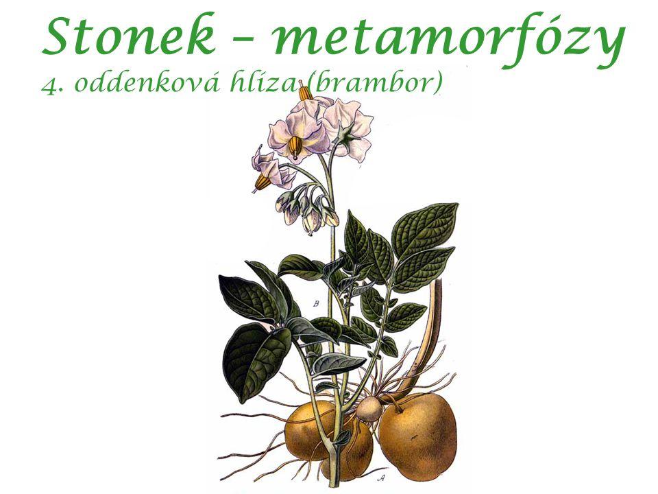 Stonek – metamorfózy 4. oddenková hlíza (brambor)
